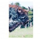 Bison sauvage