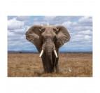 Photo d'art d'un éléphant de face dans la nature et imprimé sur de l'aluminium
