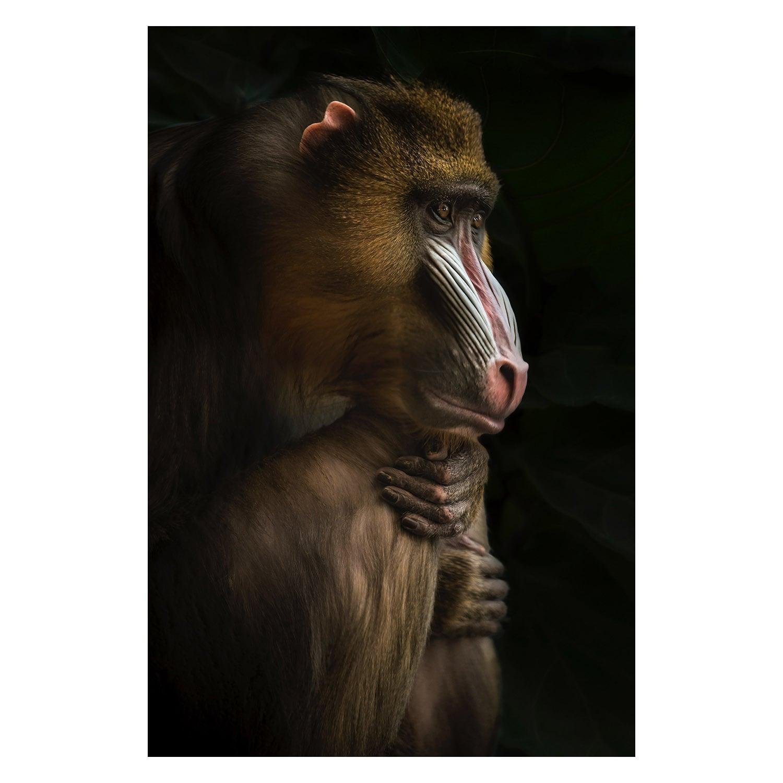Tableau déco en série limitée d'une photo d'art d'un Orang Outant pensif